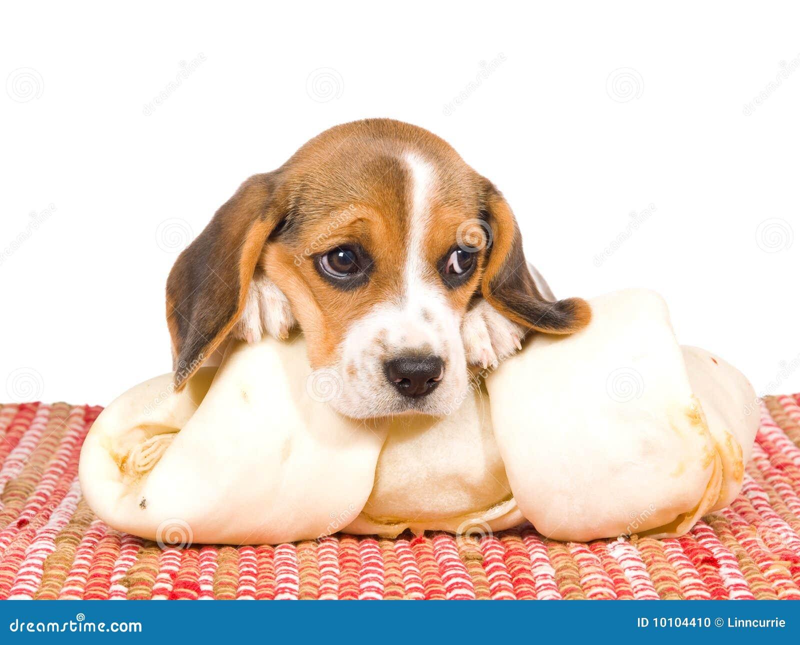 Beagle Puppy With Head On Bone Stock Photo Image 10104410
