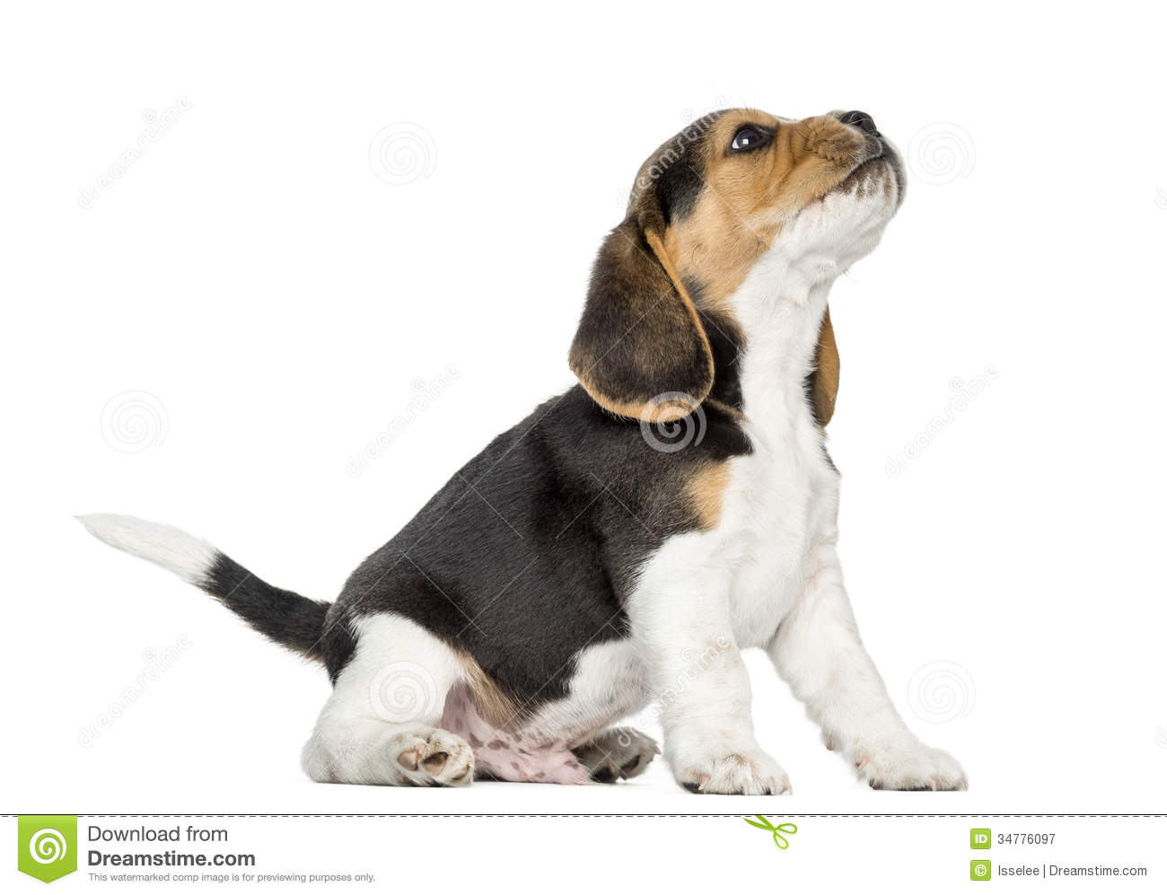 Beagle Puppy Howling, Looking Up, Isolated Royalty Free ...