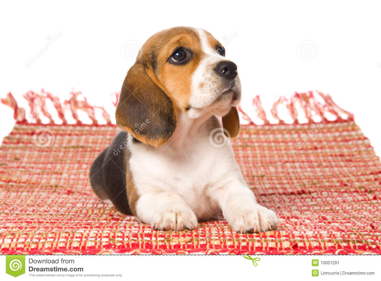 Beagle Puppy Lying Down On Red Woven Rug Stock Image