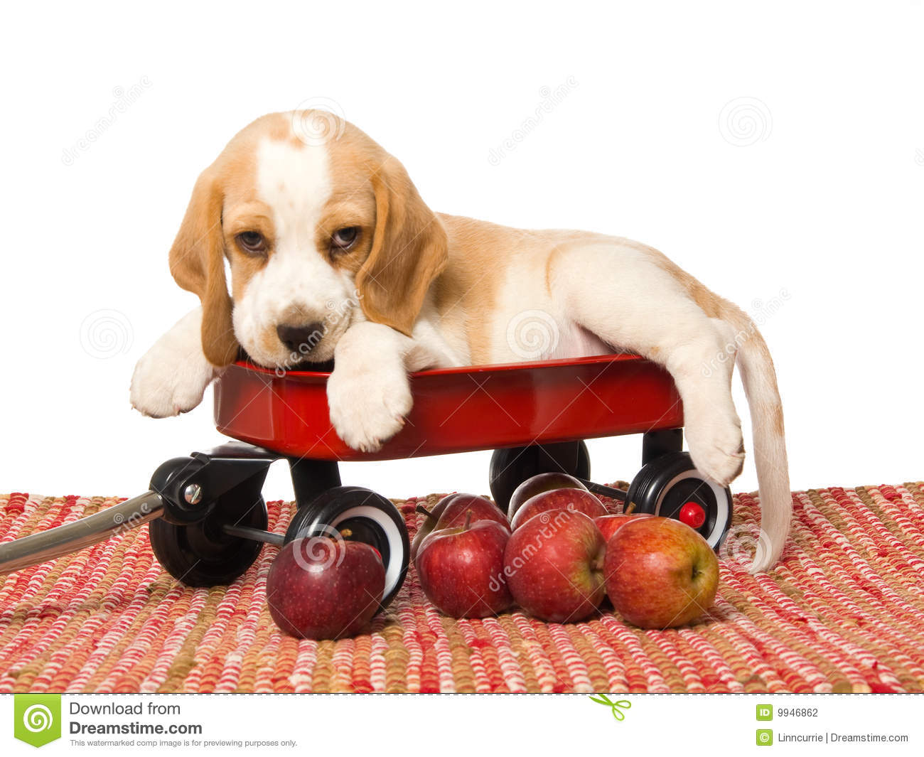 Beagle Puppy In Red Wagon With Apples Stock Photo Image Of Eyes Cute 9946862
