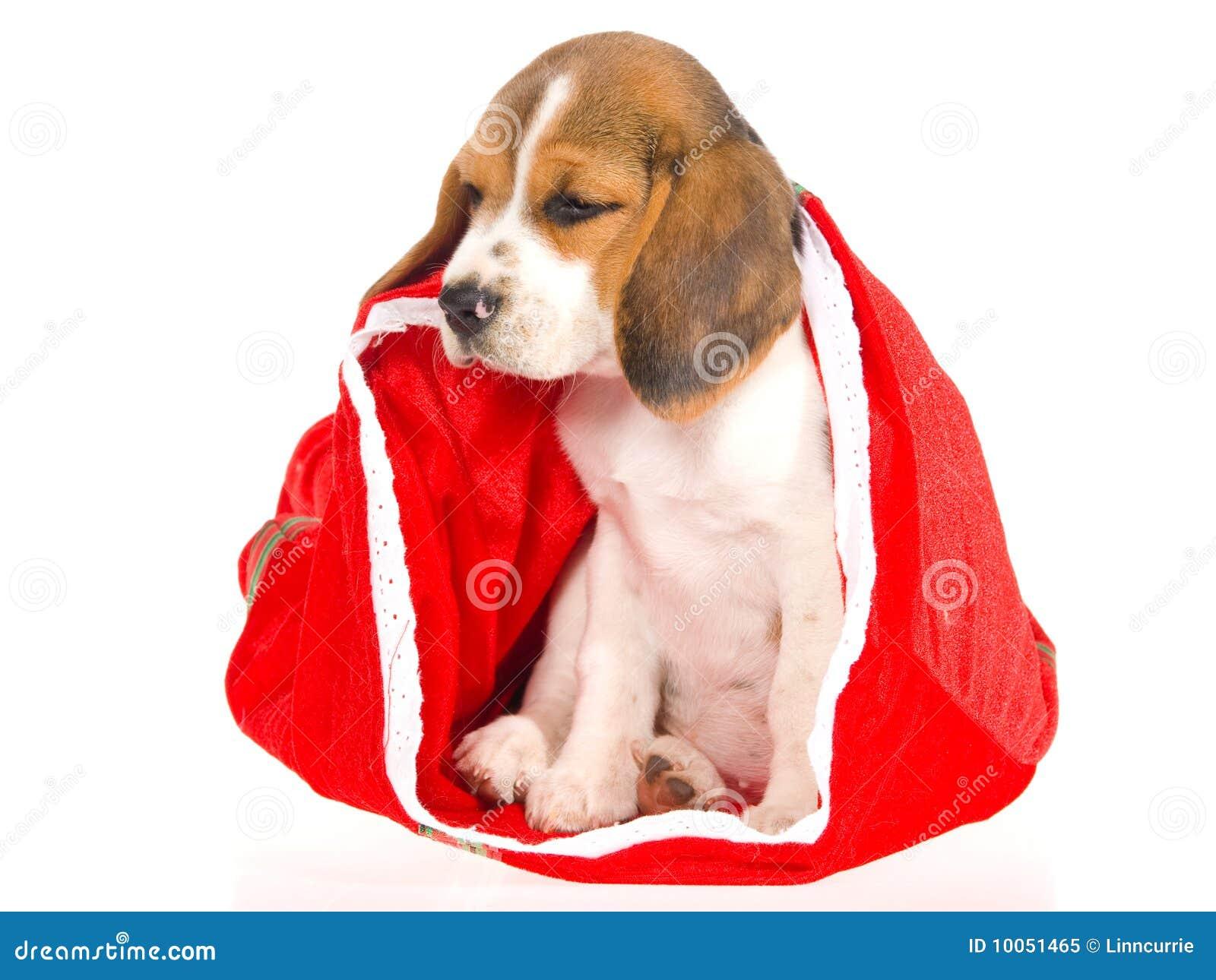 Beagle Puppy Sitting Inside Red Christmas Bag Stock Image Image Of Pedigreed Playful 10051465