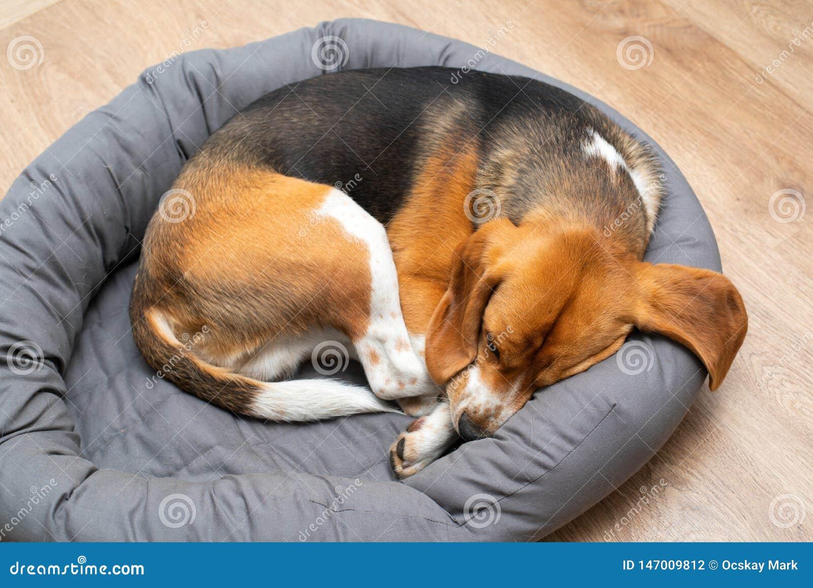 Beagle puppy sleeping at home