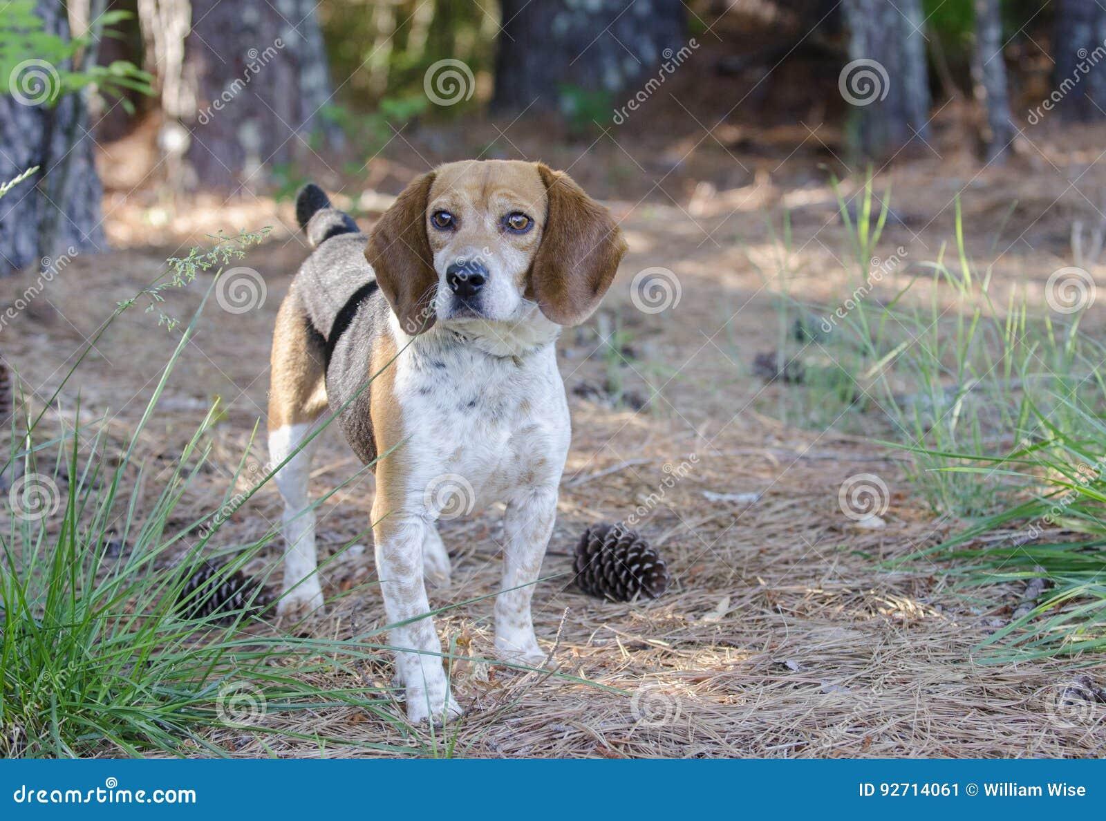 Beagle Rabbit Hunting dog