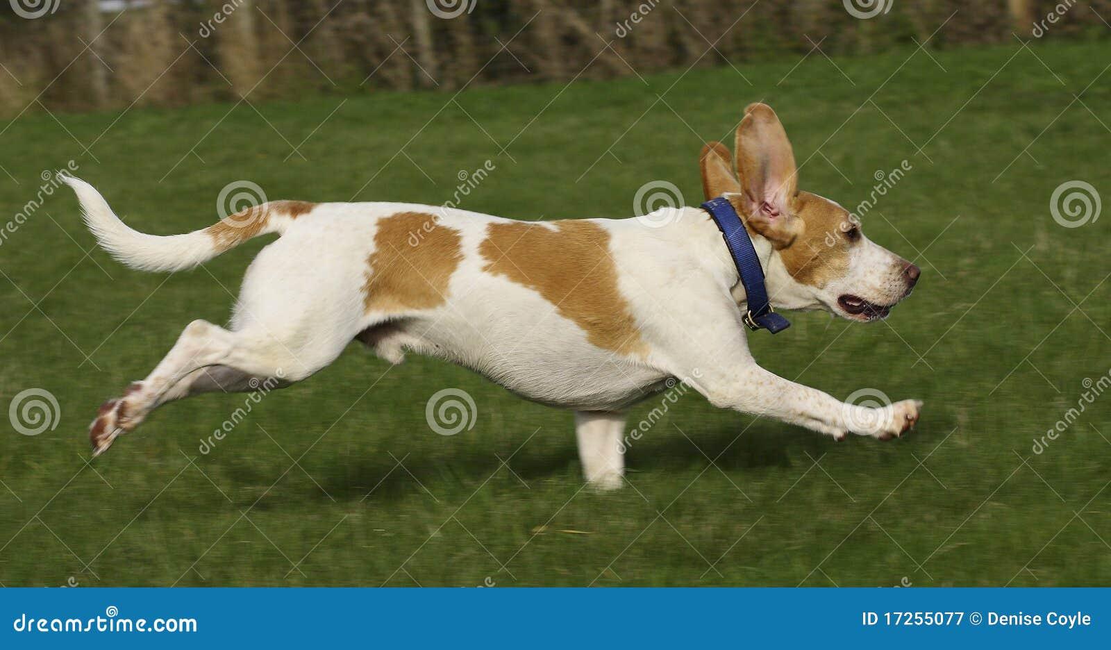Beagle Running Free Royalty Free Stock Photography - Image ...  Running