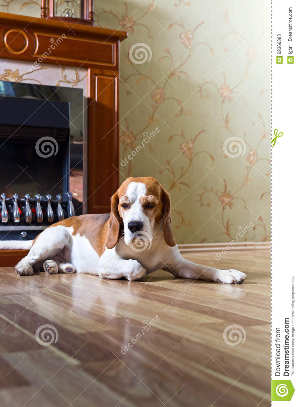 Beagle on the wooden floor near the fireplace .