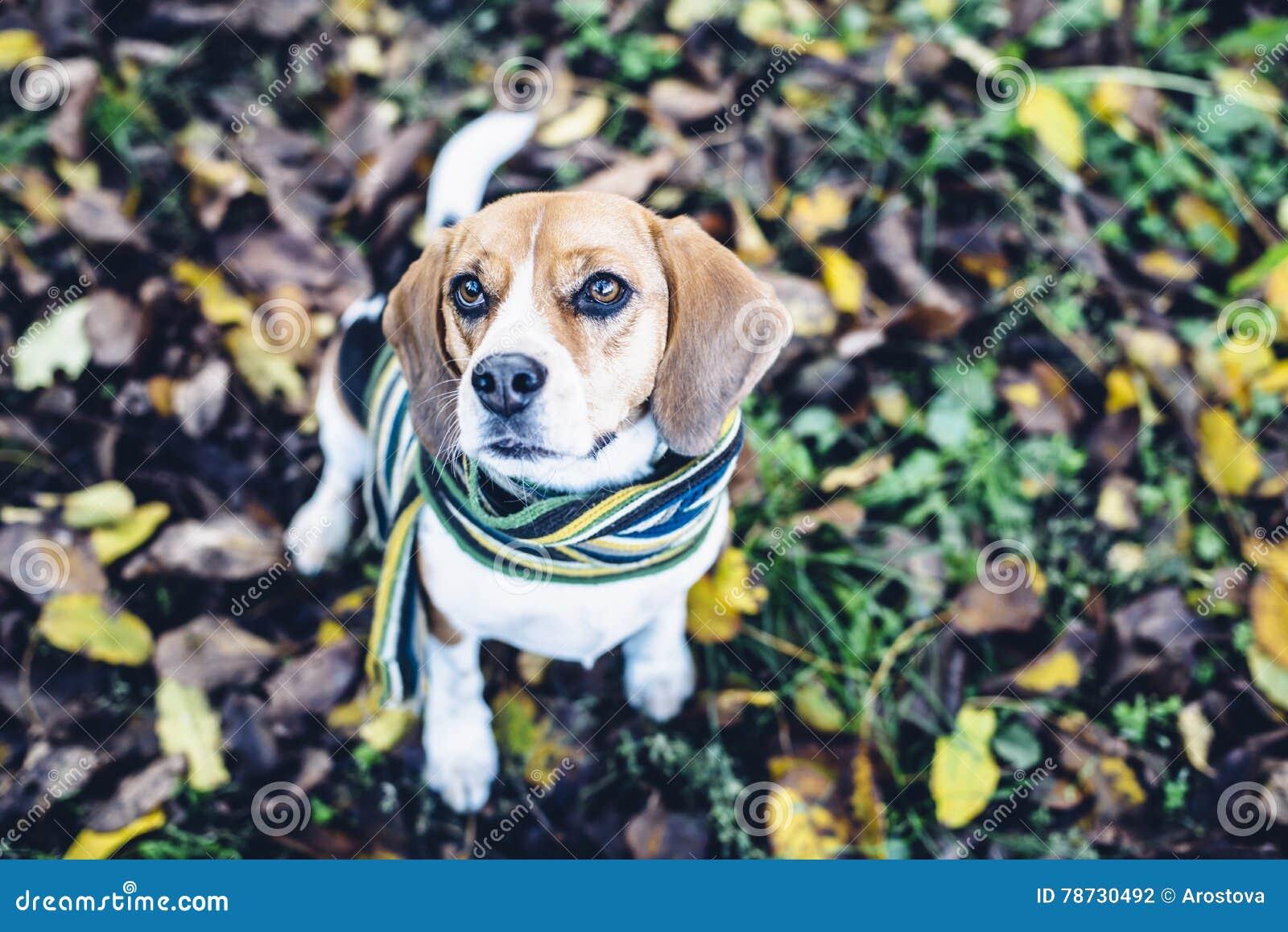 Beaglehund i randigt halsduksammanträde på jordning som täckas med stupade sidor i autum