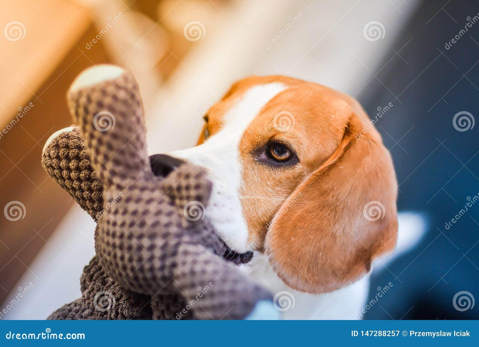 Beaglehund med en favorit- leksak i mun inomhus