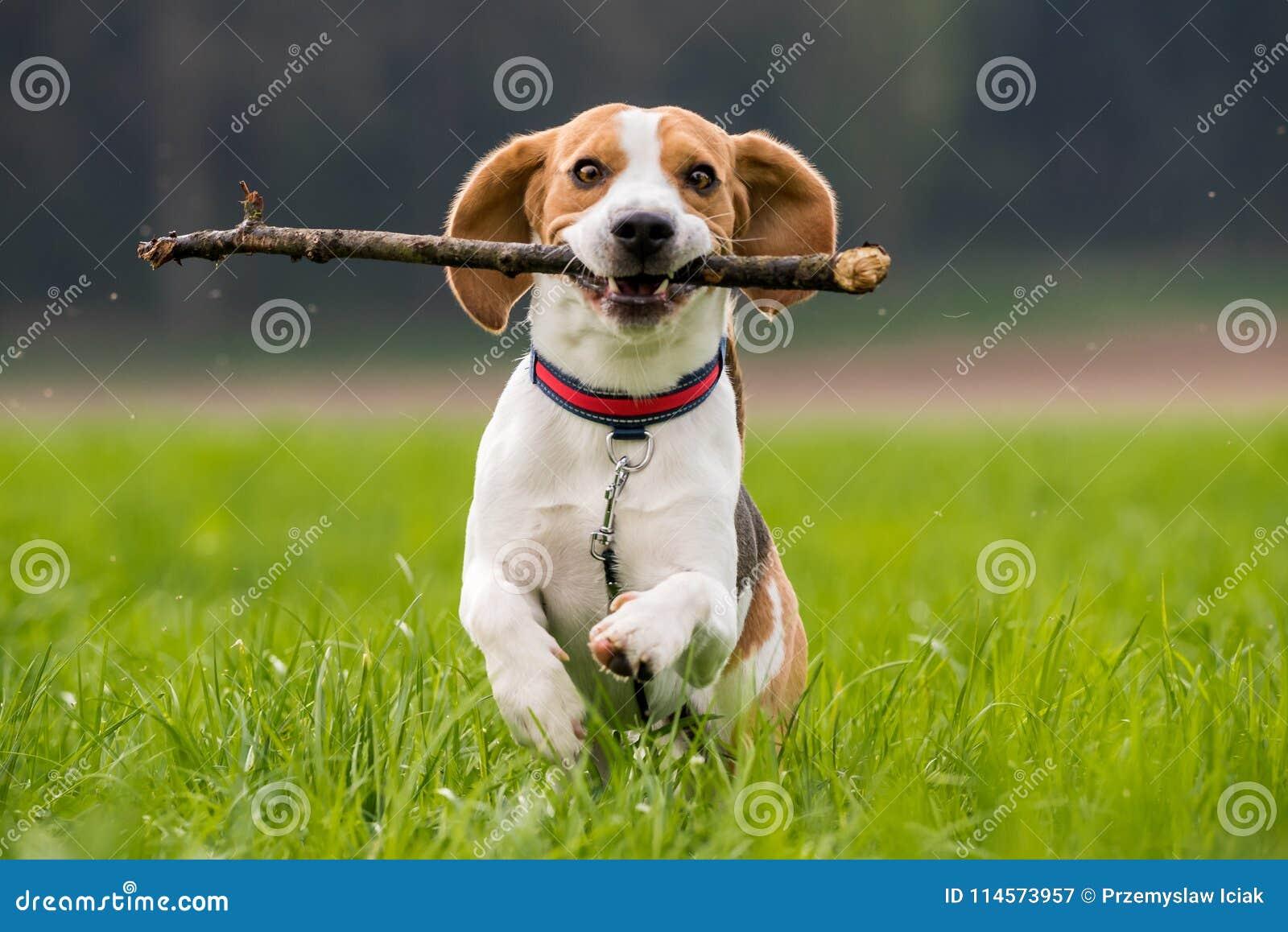 Beaglehunden i ett fält kör med en pinne