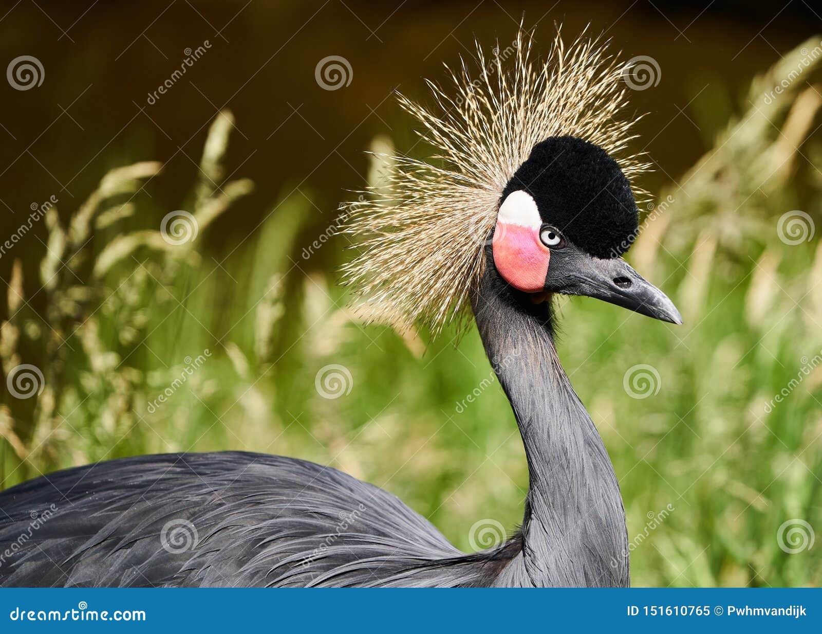 Beaitiful czerni koronowany dźwigowy ptak