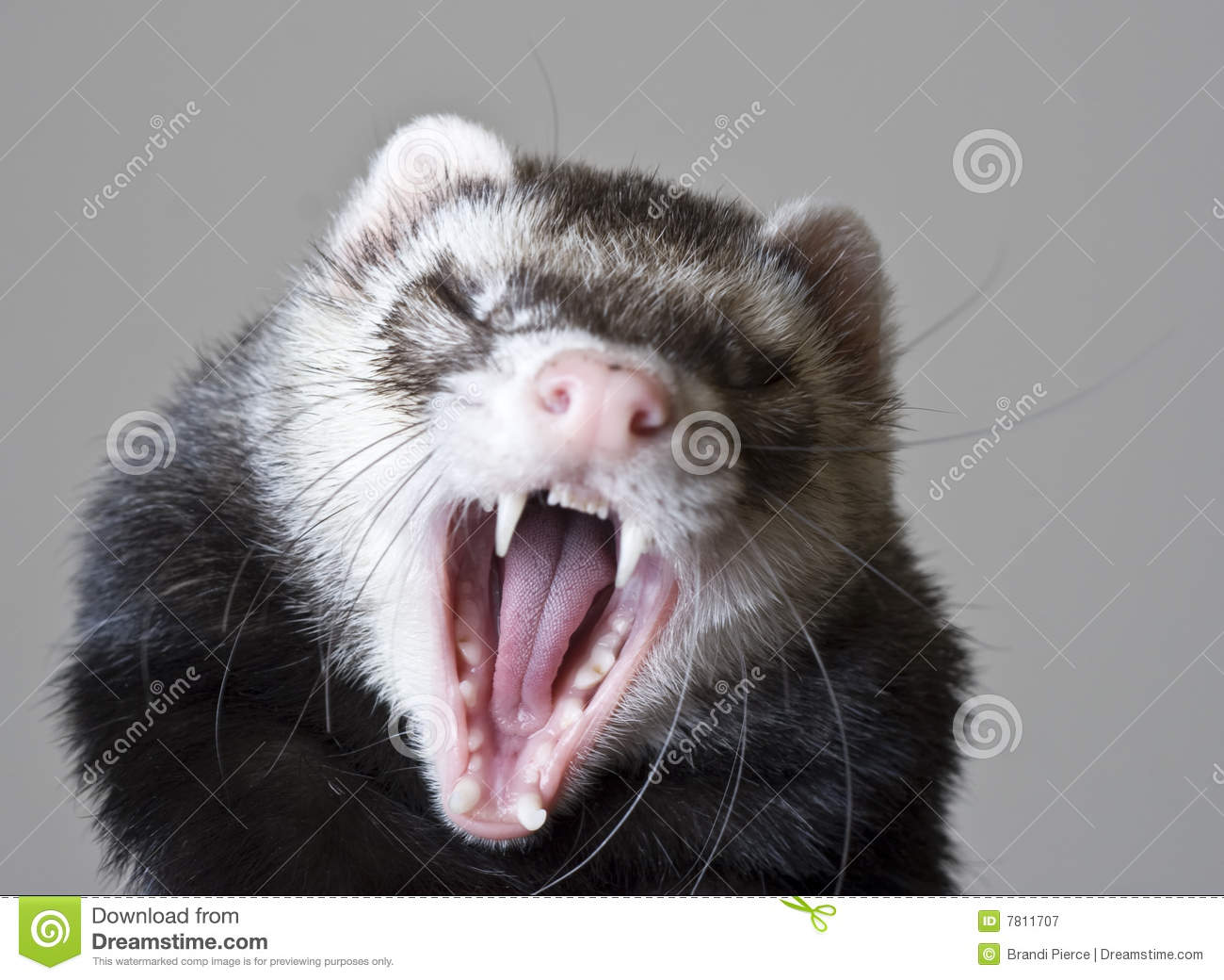 Bean The Ferret Stock Image Image Of Illegal Exotic
