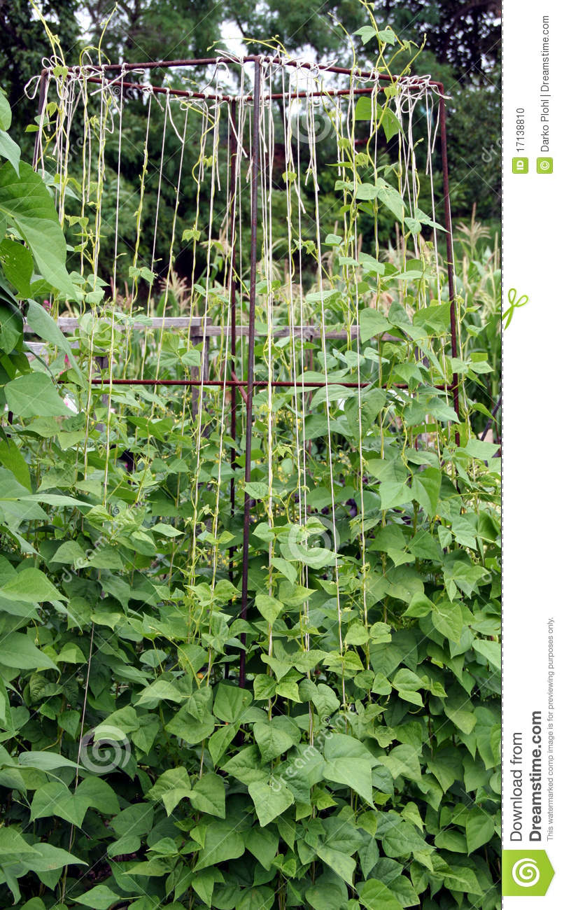 Bean Plants On The Garden Bed Stock Photo Image Of