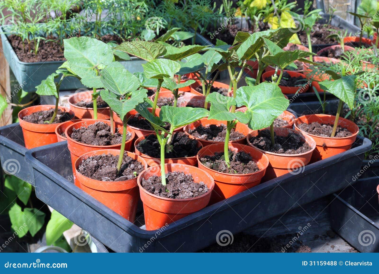 Bean plants in pots.