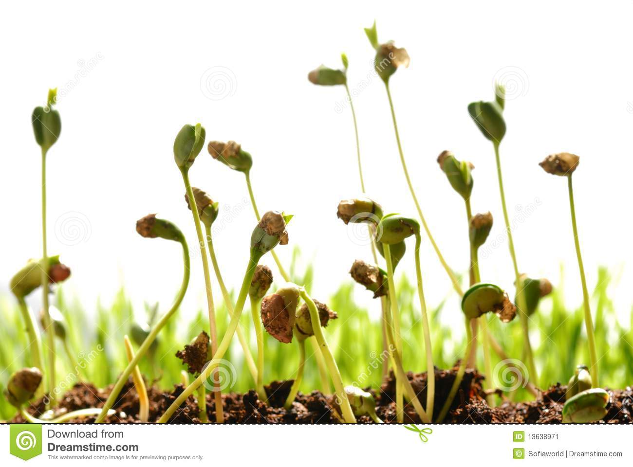 Bean Seed Germination Stock Image - Image: 13638971