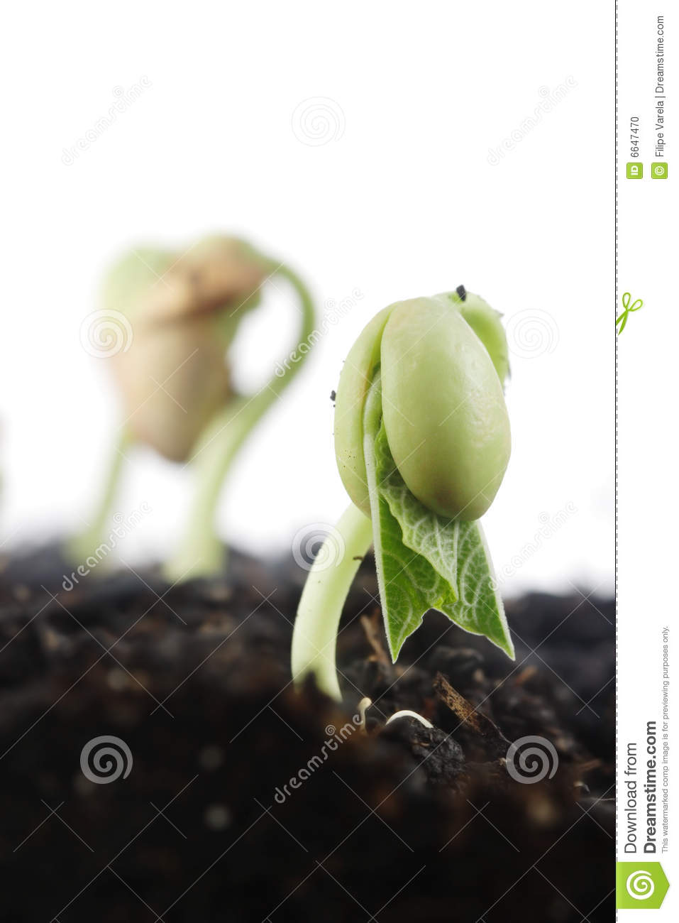 bean germination Read the green bean germination time discussion from the chowhound gardening food community join the discussion today.