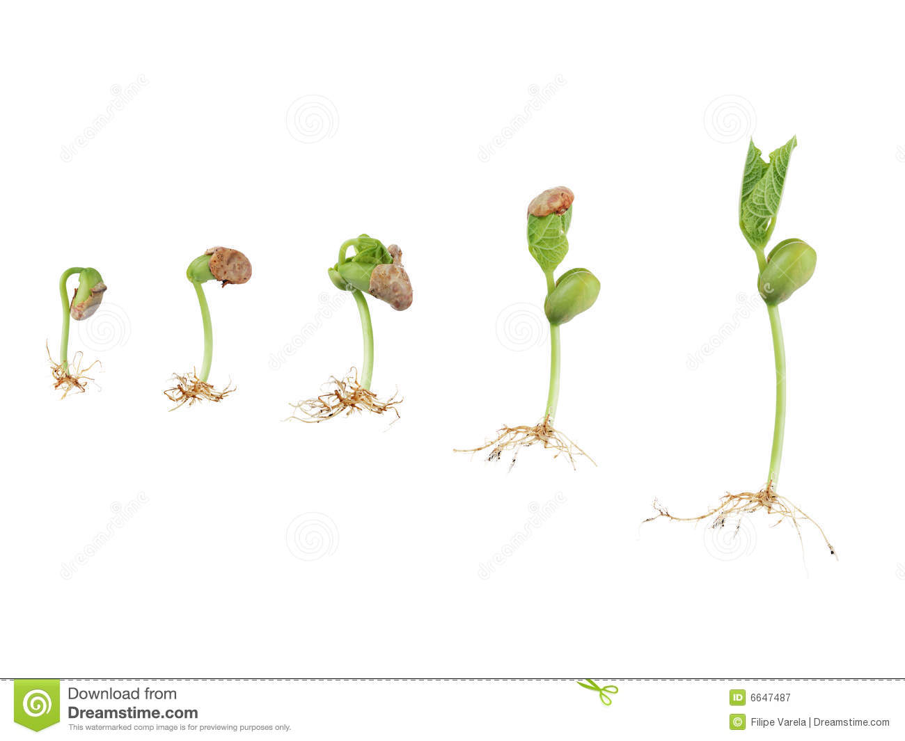 Seed germination stock vector illustration of botany 89479522 bean seed germination royalty free stock photography pooptronica Images