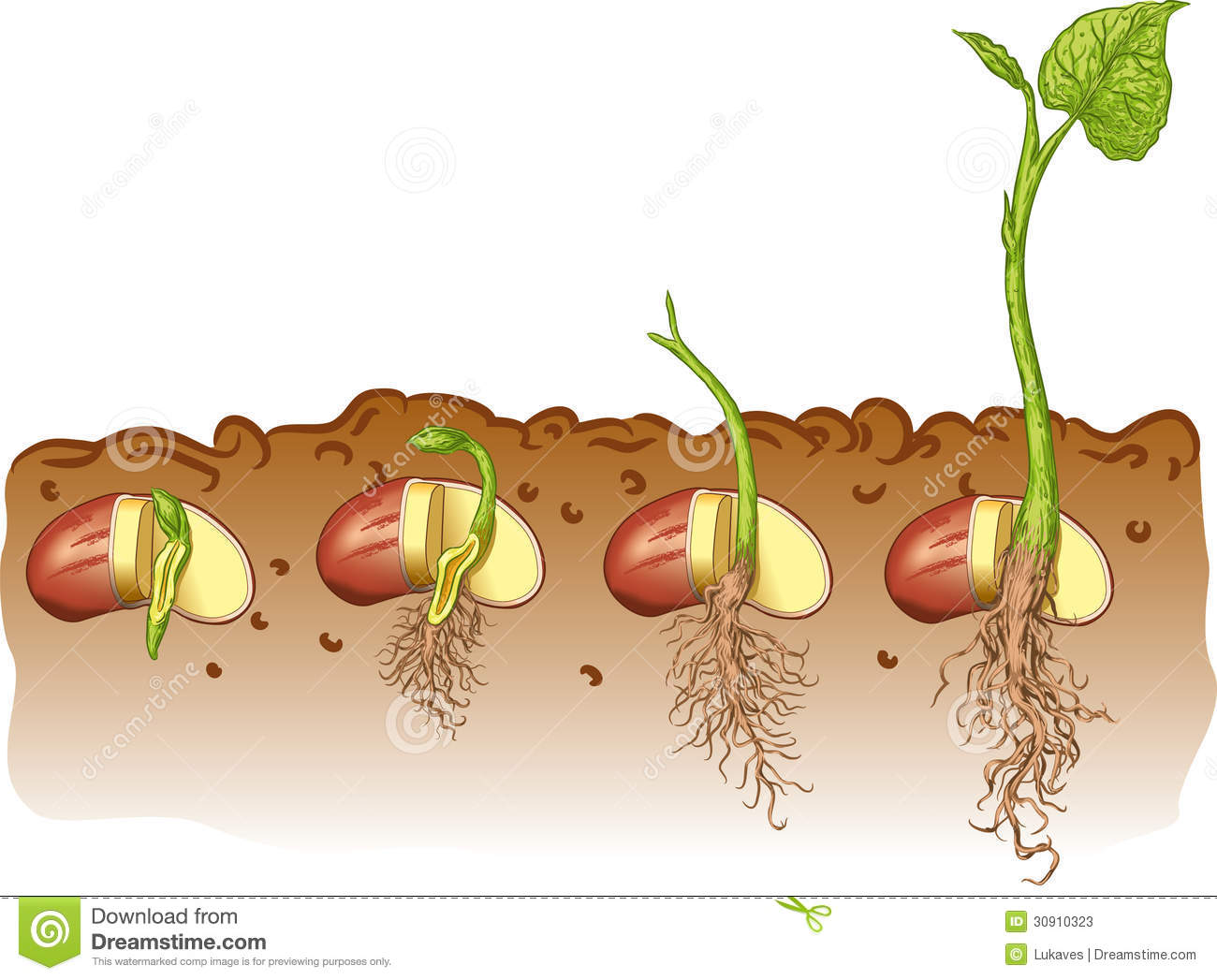 Vector illustration growth of bean plants.