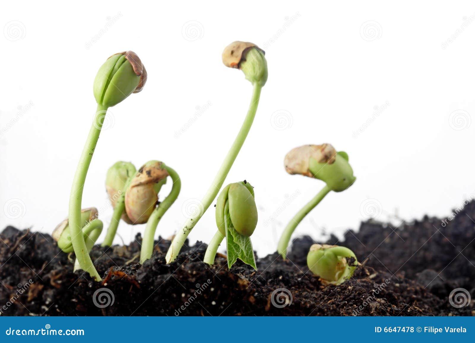 Bean Seeds Germination Royalty Free Stock Photos - Image: 6647478: www.dreamstime.com/royalty-free-stock-photos-bean-seeds-germination...