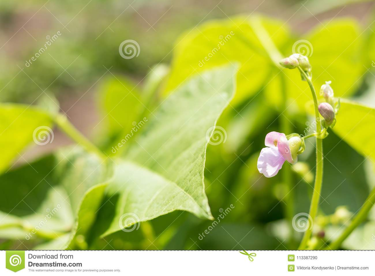 Beans plants and flowers as very nice natural background