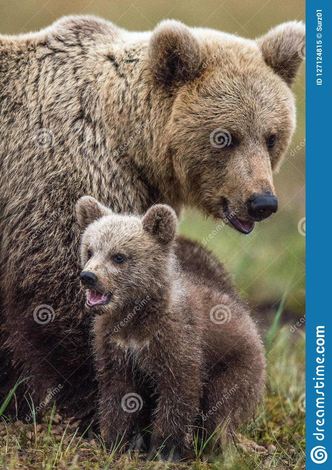 She-bear and bear-cub. Cub and Adult female of Brown Bear in the forest at summer time.
