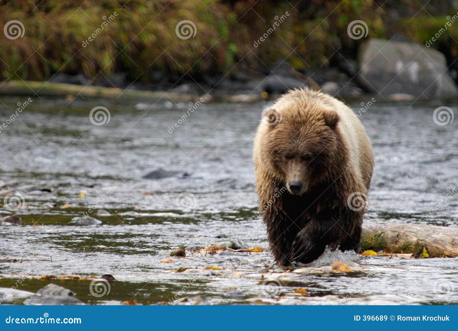 Bear coming heads up