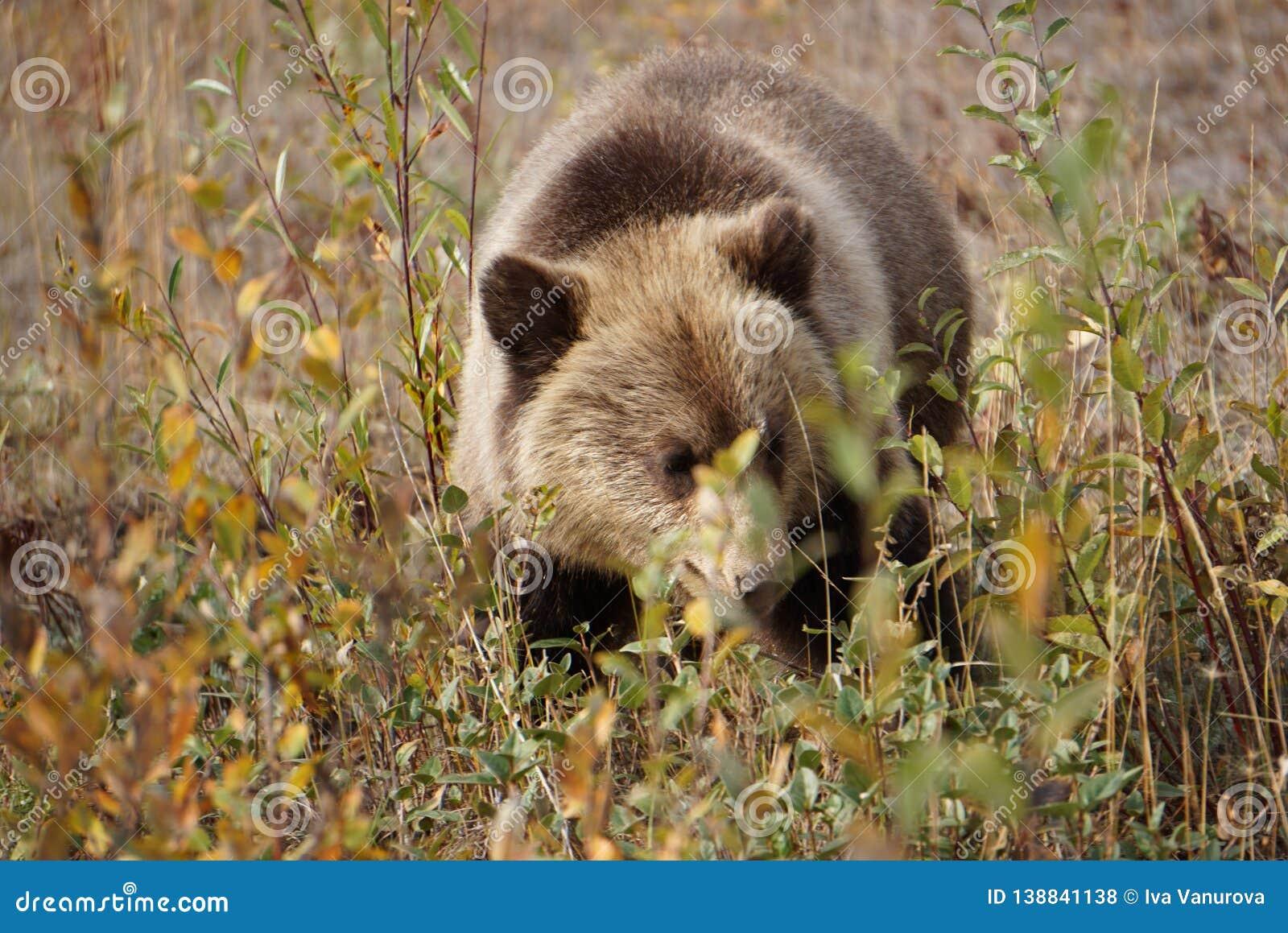 Bear cub in north America