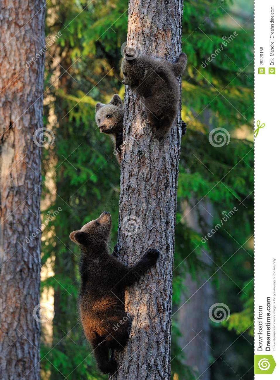 bear cubs climb up a tree royalty free stock photos