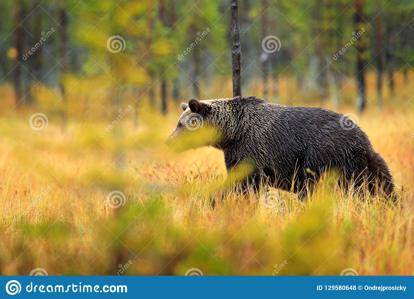 Bear hidden in orange red forest. Autumn trees with bear. Beautiful brown bear walking around lake with fall colours. Dangerous an