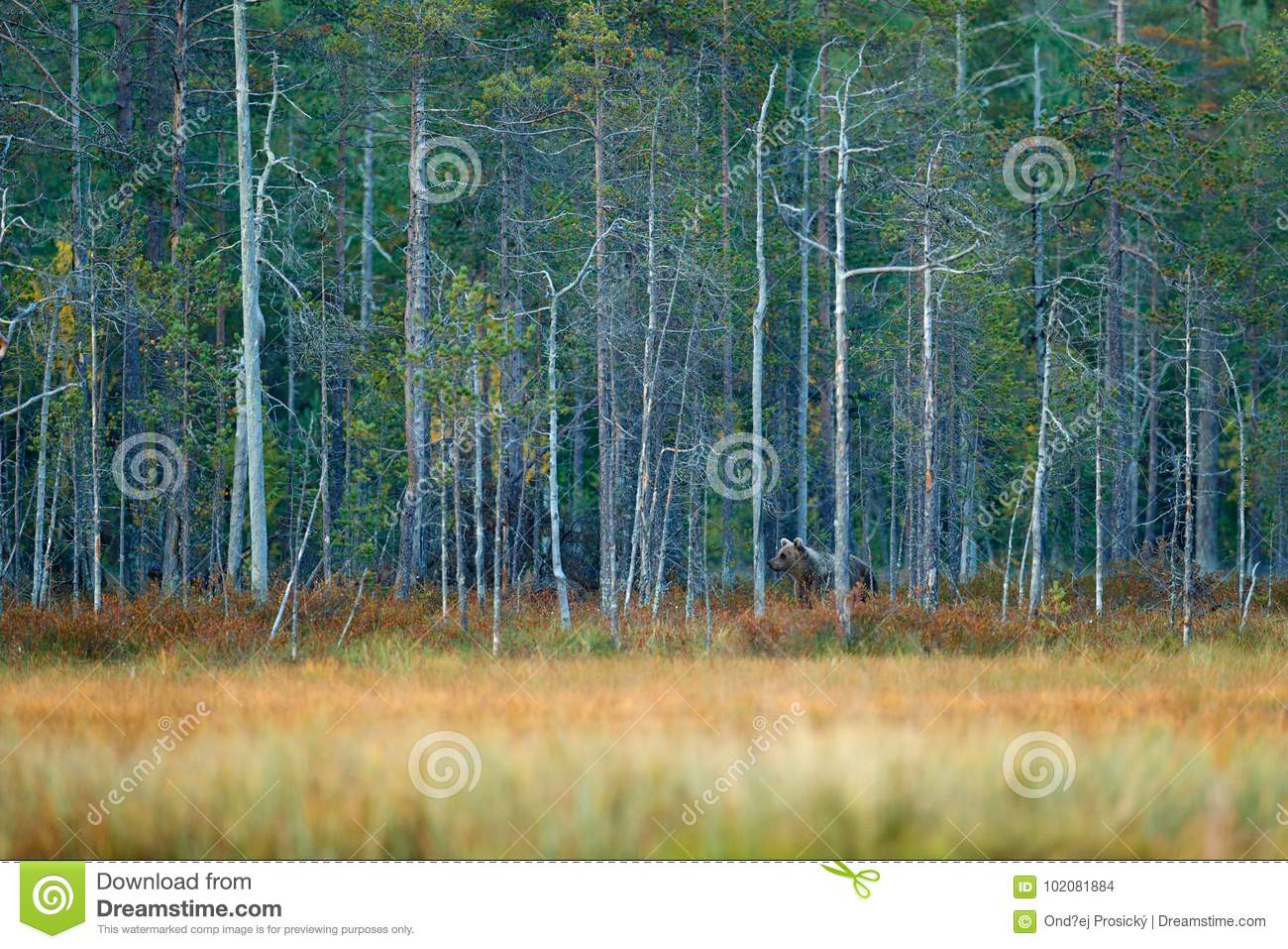 Bear hidden in yellow pine and birch forest. Autumn wood with bear. Beautiful brown bear walking around lake with autumn colours.