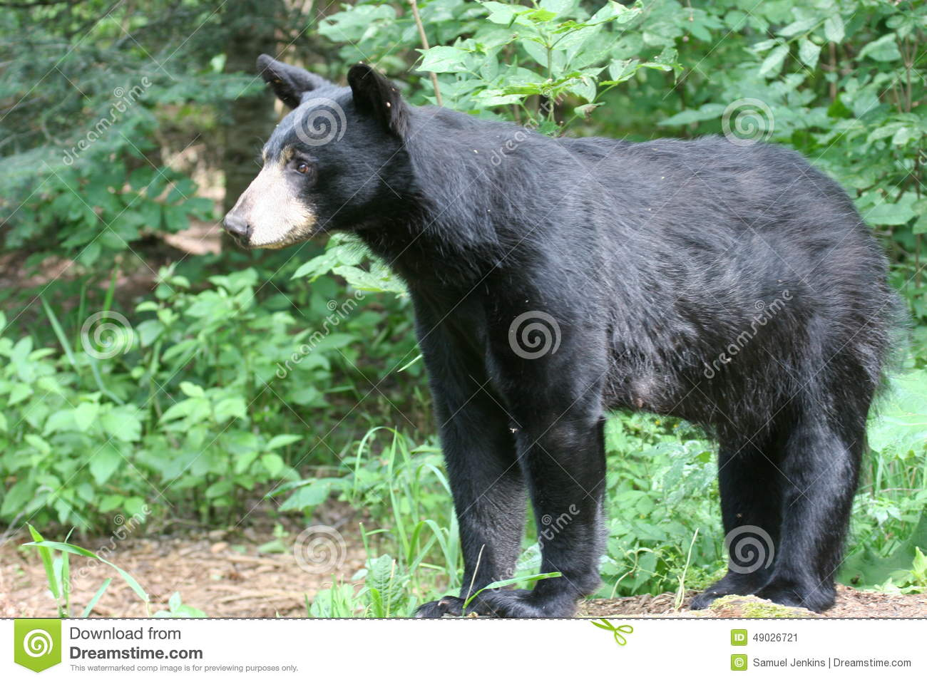 a management plan for the black bear So what is tonight about 1 briefly review the nc black bear management plan 2 share data and information about our bear populations 3 describe development of.