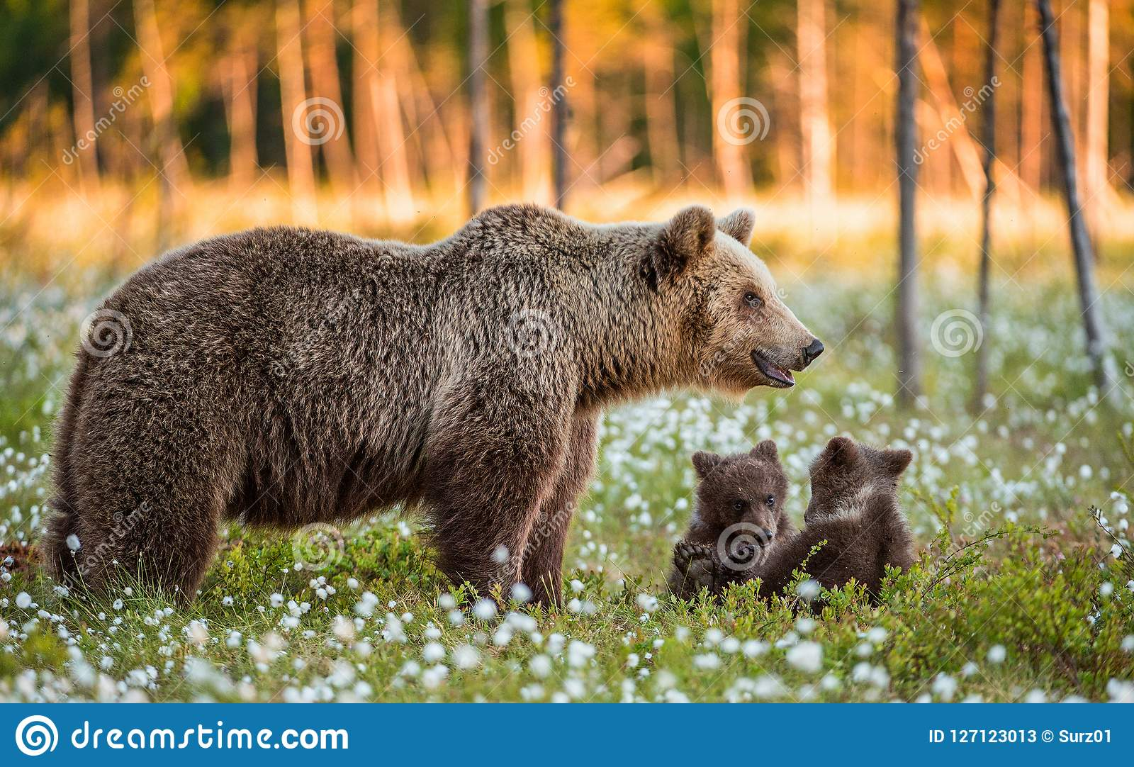 She-bear and playfull bear cubs. White flowers on the bog in the summer forest.
