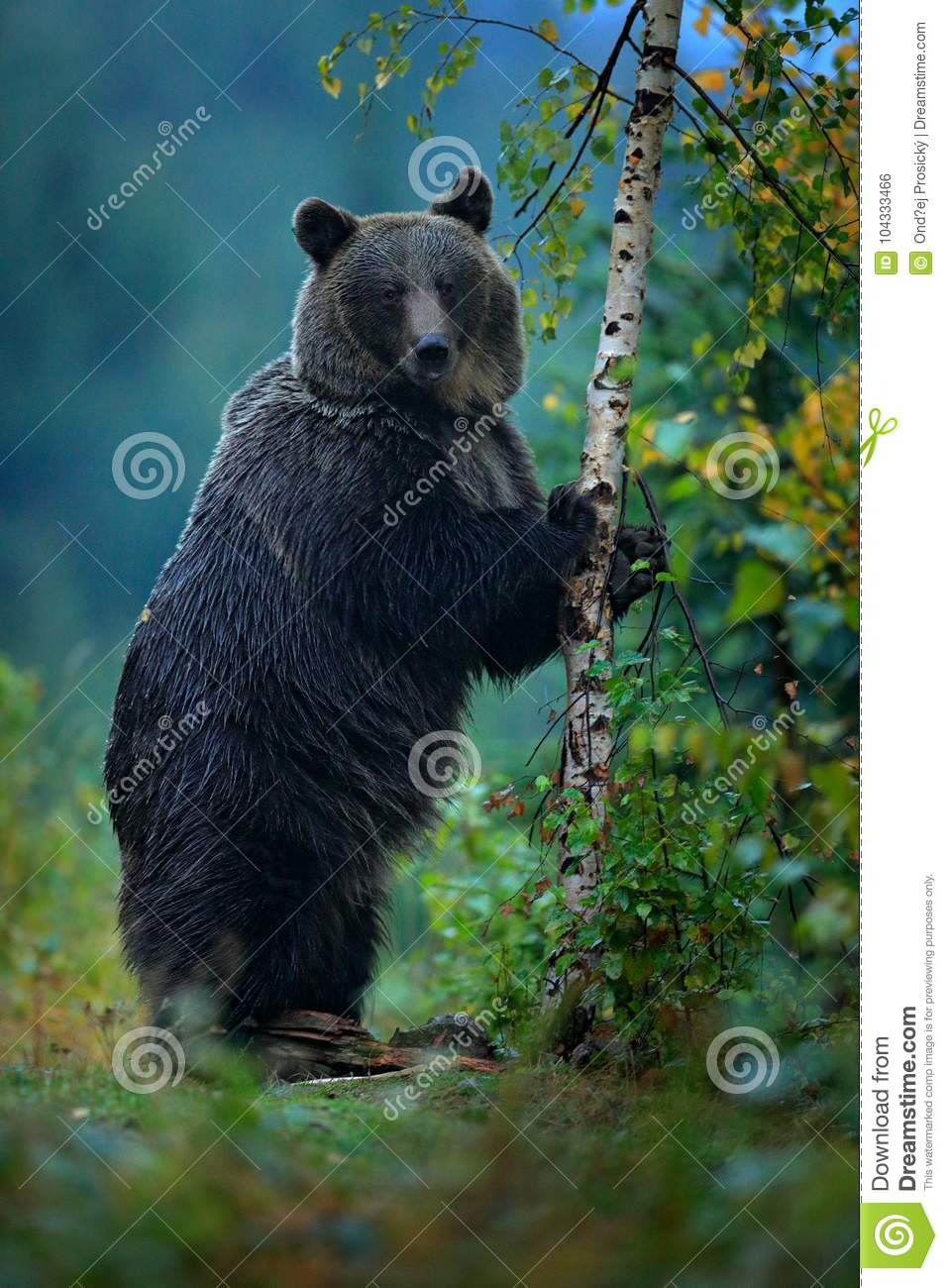 Bear rise up, get on one`s hind legs, with larch autumn tree. Brown bear before winter. Slovakia mountain Mala Fatra, green fores