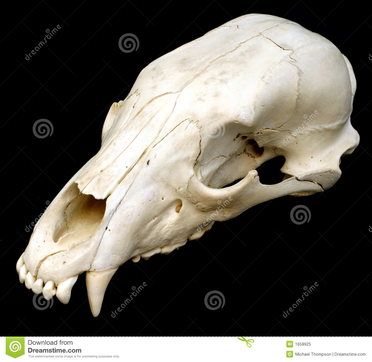Bear Skull Royalty Free Stock Photo - Image: 1658925