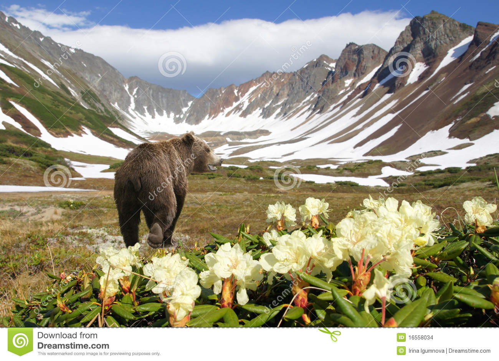 Bear in volcano
