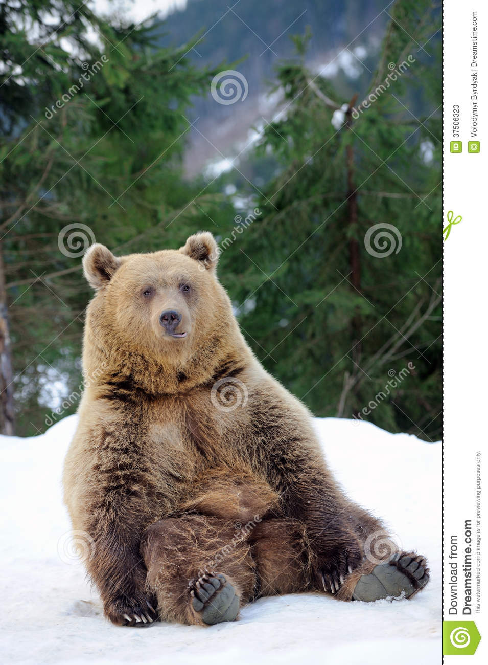 bear in winter stock image image of angry bears animals. Black Bedroom Furniture Sets. Home Design Ideas