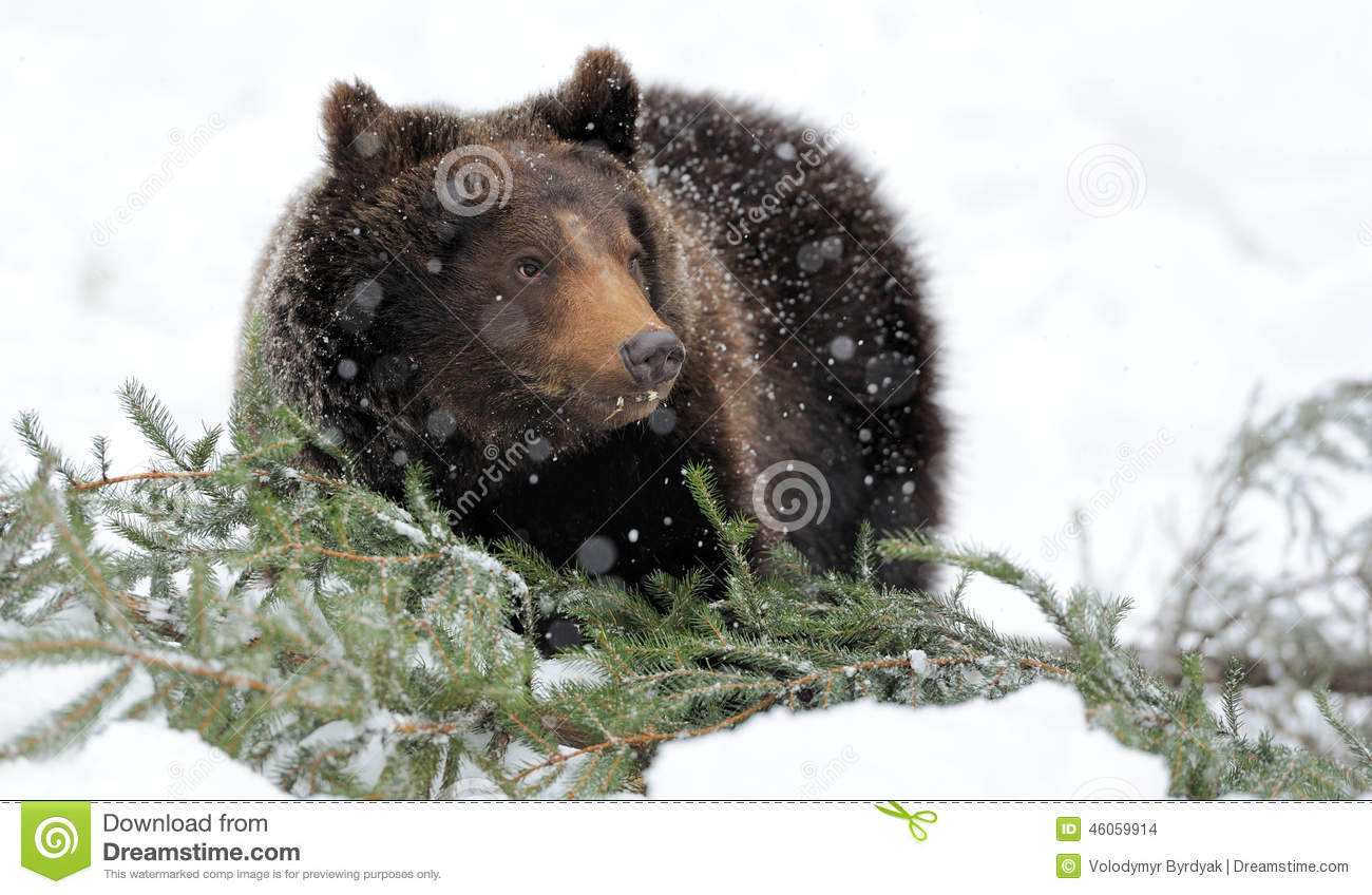 bear in winter forest stock photo image of fauna tree. Black Bedroom Furniture Sets. Home Design Ideas