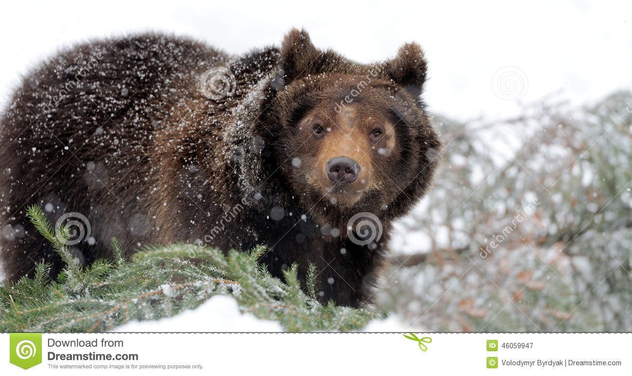bear in winter forest stock image image of background. Black Bedroom Furniture Sets. Home Design Ideas