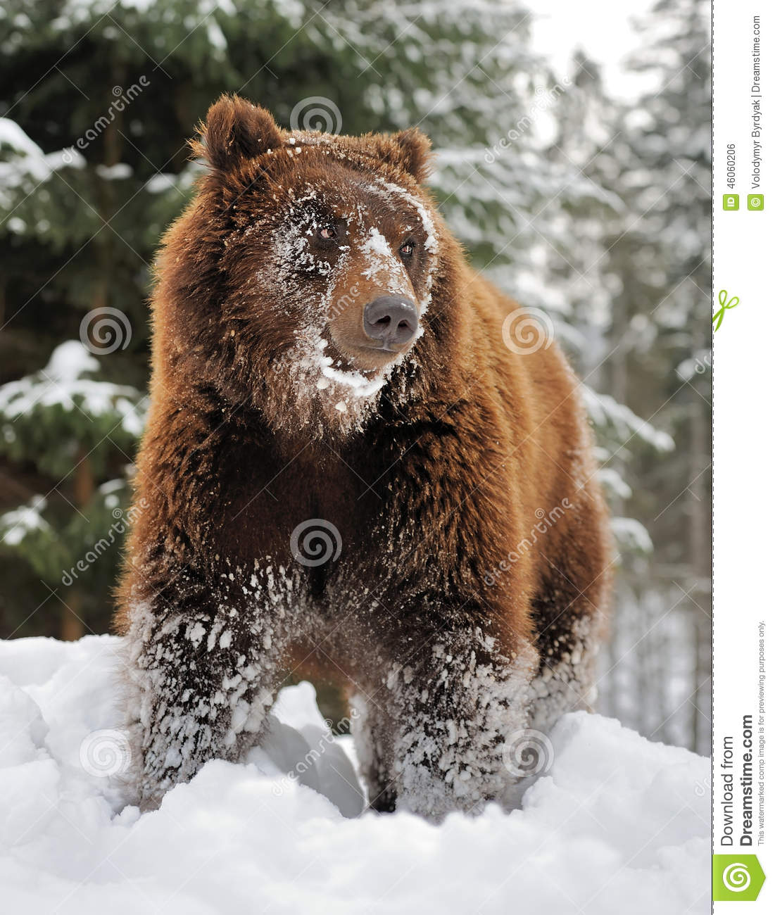 bear in winter forest stock photo image of arctos look. Black Bedroom Furniture Sets. Home Design Ideas
