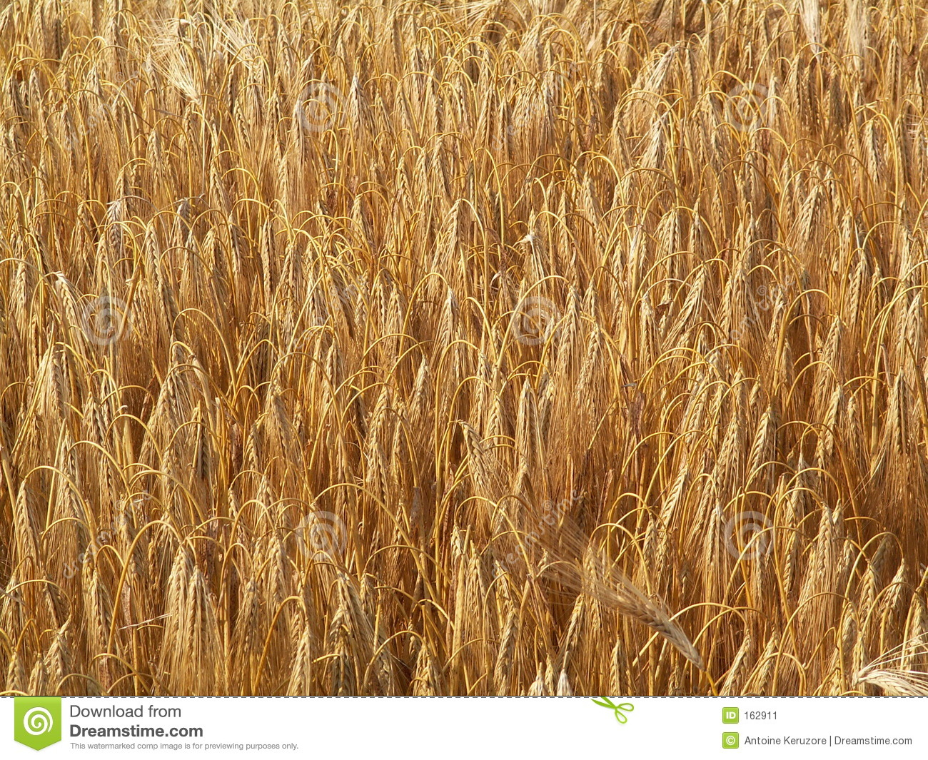Bearbed wheat