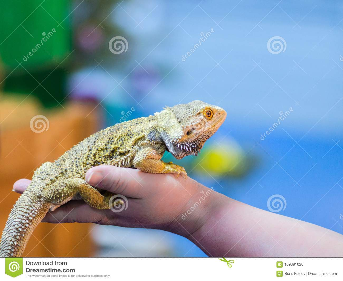 Bearded Agama sits on the buyer`s hand at the pet store. The sel