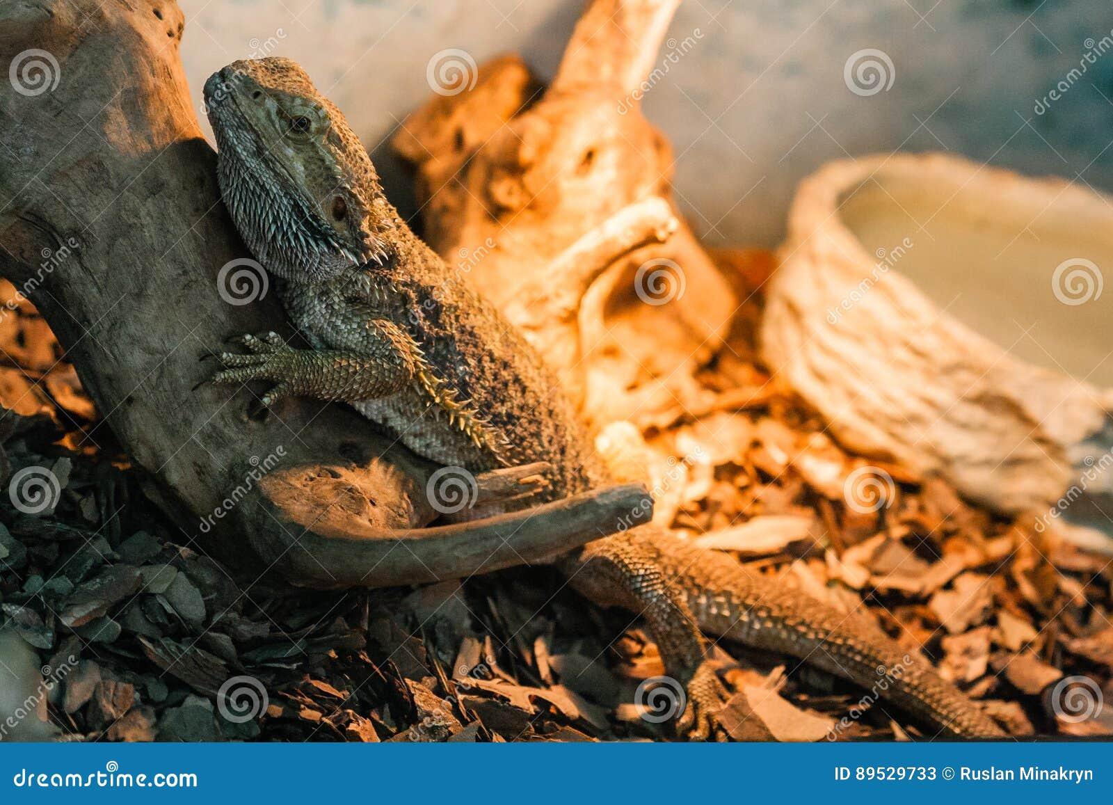The bearded agama sits on a snag