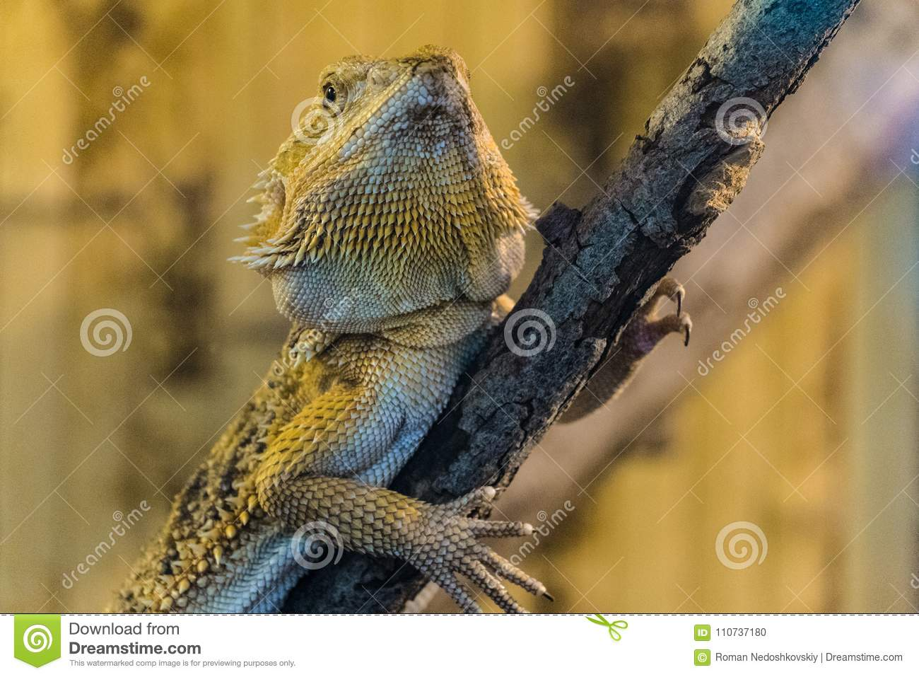 Bearded Agama sits on a wooden branch in terrarium