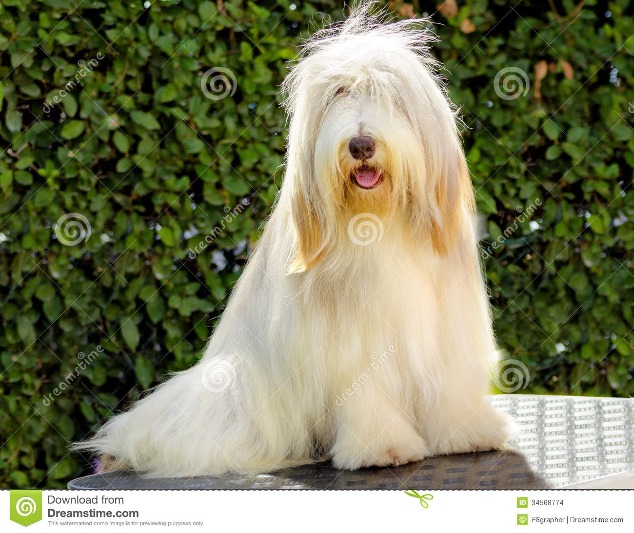 Pictures Of Large White Dog Breeds