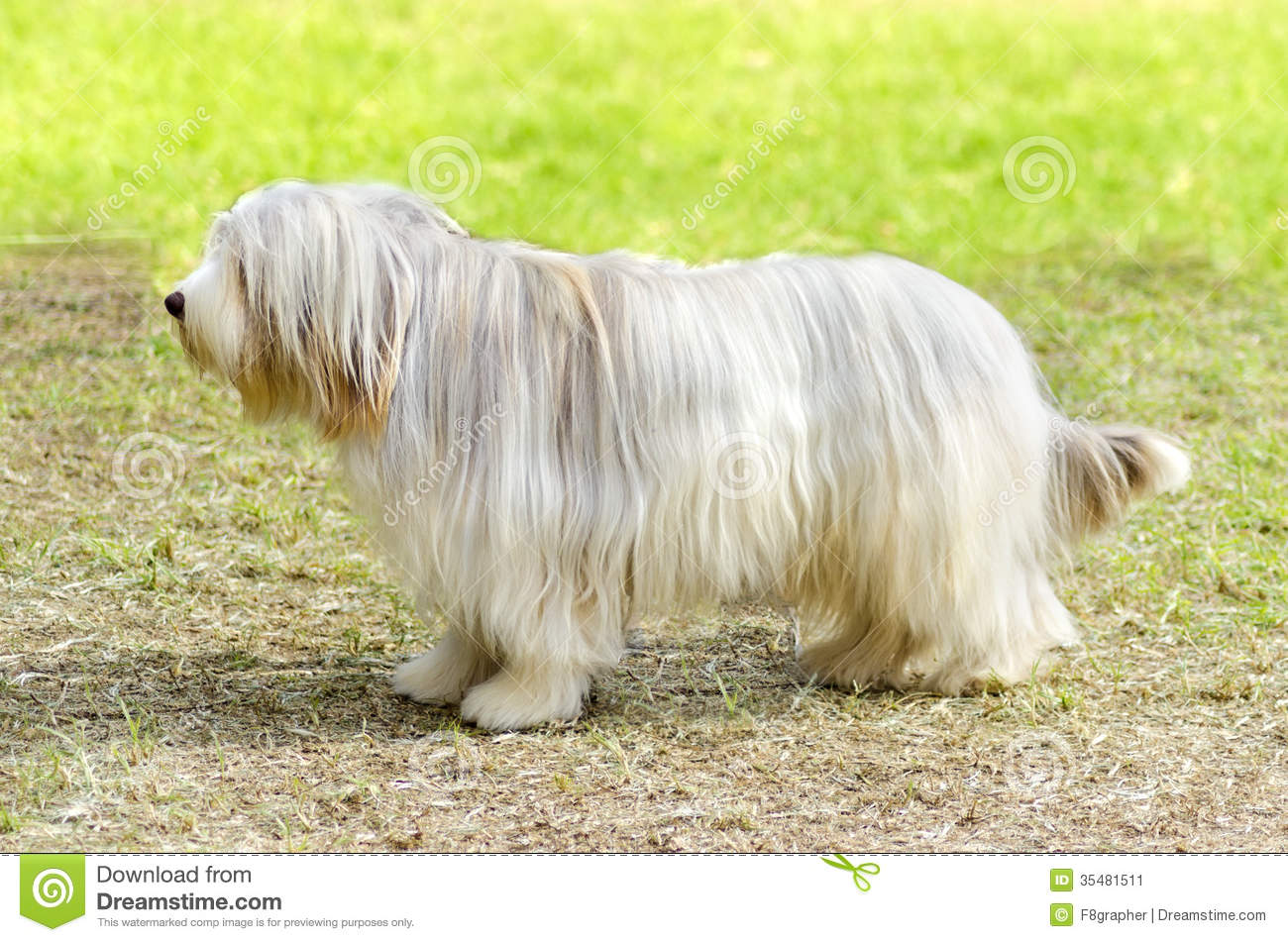 Bearded Collie Bearded Collie Coat