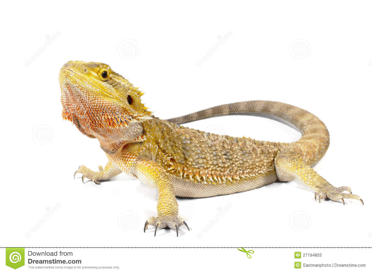 Bearded Dragon Stock Photos - Image: 27194803