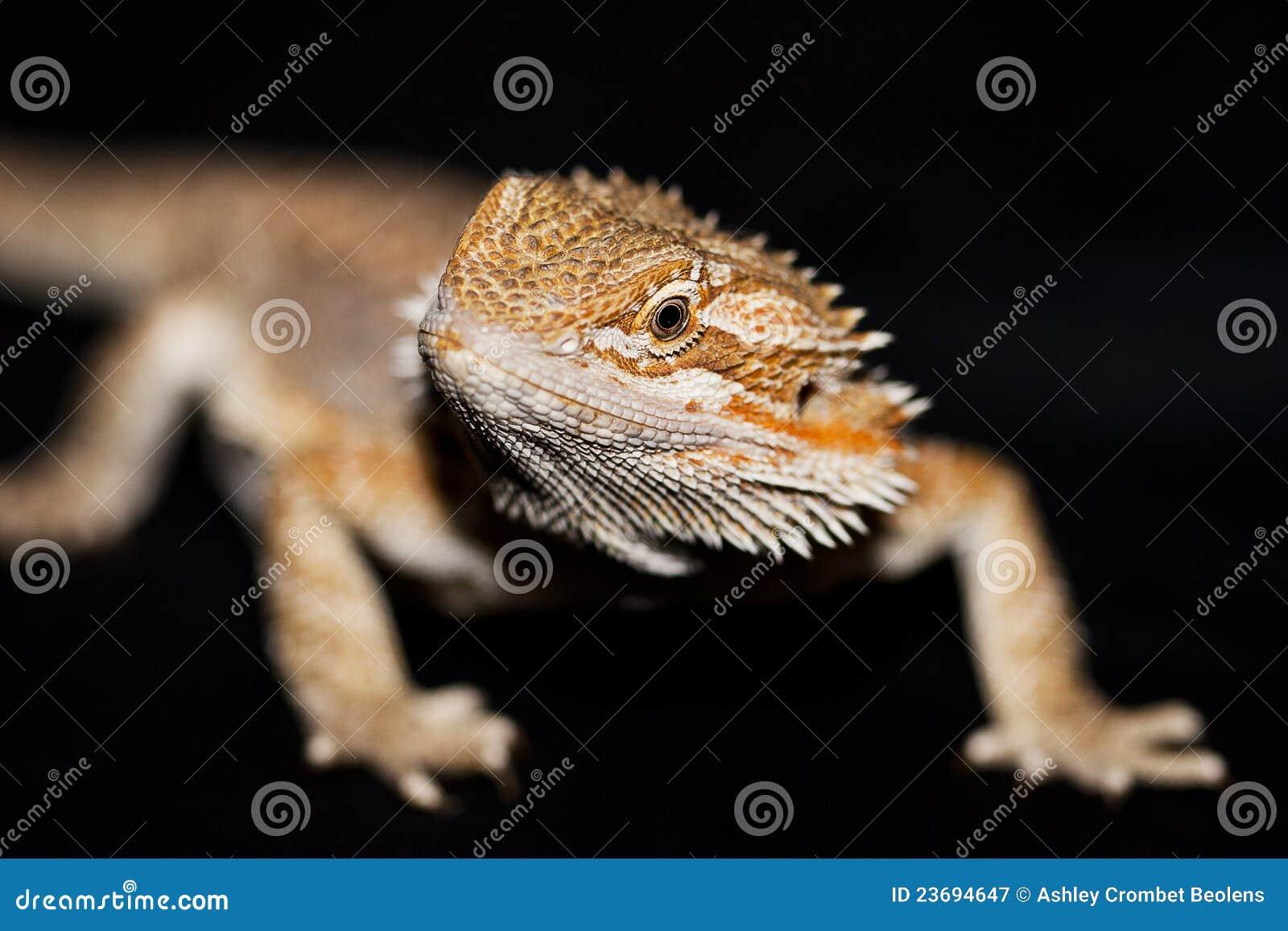Bearded Dragon On Black Royalty Free Stock Photography ...