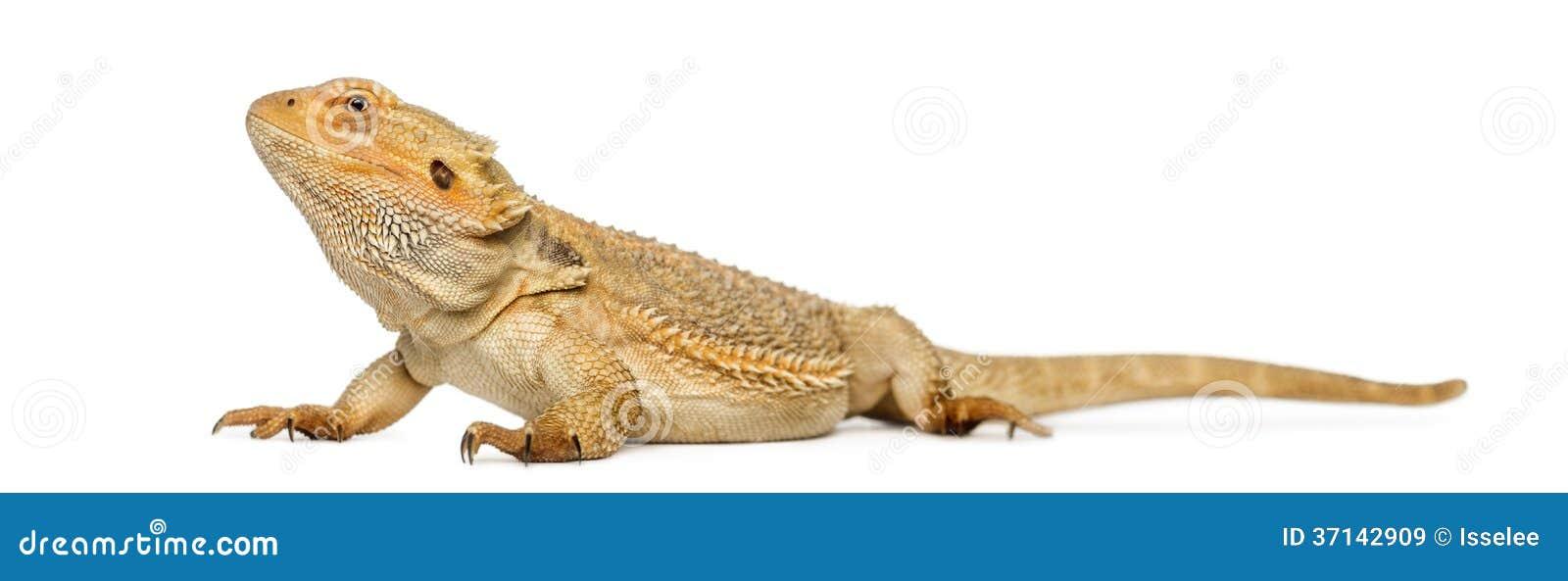 Bearded Dragon, Pogona Vitticeps Royalty Free Stock Images - Image ...