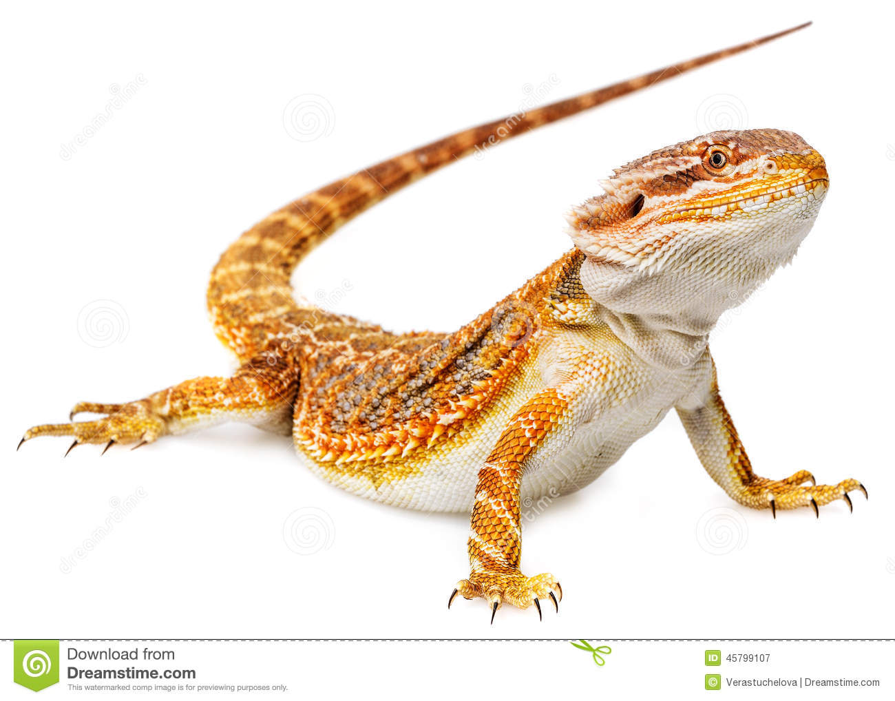 Bearded Dragon - Pogona Vitticeps Stock Photo - Image: 45799107