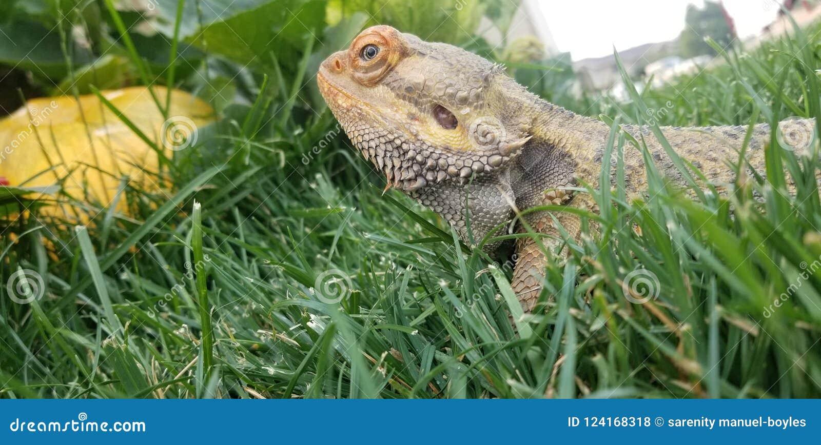 Mr lizard
