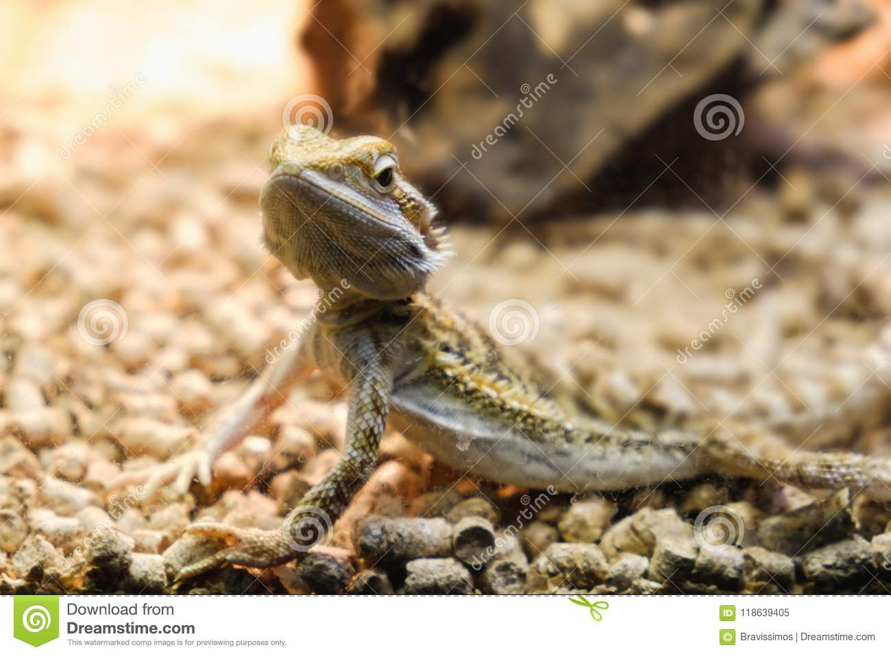Bearded Dragon In A Terrarium Leaning Against A Log And Looking In
