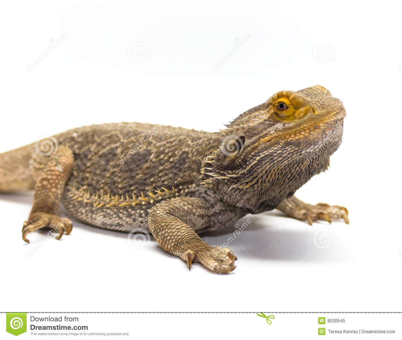 Bearded Dragon On White Royalty Free Stock Photo - Image ...